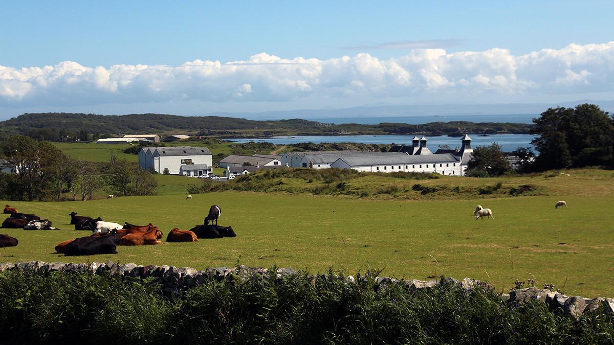 Im Hintergrund steht die Ardbeg-Brennerei direkt am Meer, im Vordergrund befindet sich eine grüne Wiese mit weidenden Kühen